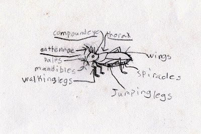 A drawing of the parts of a grasshopper, from a nature notebook