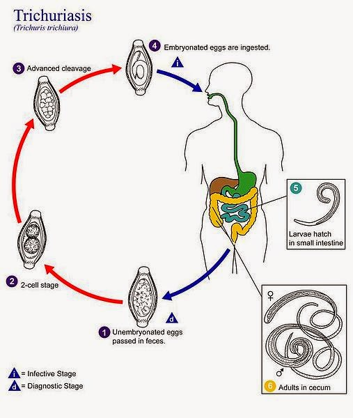Treatment helminth infections. Infecție cu geohelminth