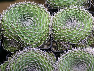 Orostachys spinosa - Cotyledon spinosa - Sedum spinosum