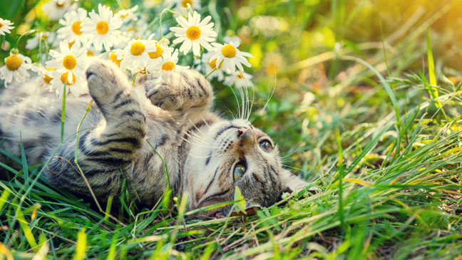 Ternyata Ini Penyebab Kucing Suka Menjilati Badannya Sendiri