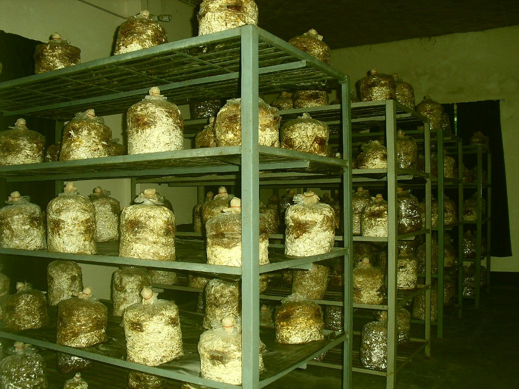 Image result for mushroom farm punjab