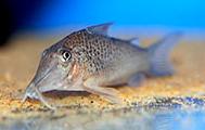 Jenis Ikan Corydoras cervinus