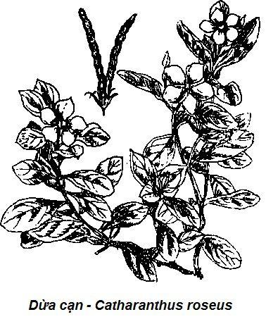 Hình vẽ Dừa cạn-Catharanthus roseus-Nguyên liệu làm thuốc Hạ Huyết Áp