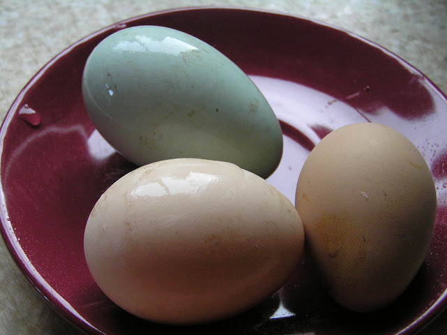 fresh eggs, easter egger