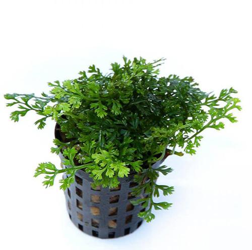 cây thủy sinh dương xỉ châu phi lùn thích hợp buộc giá thể