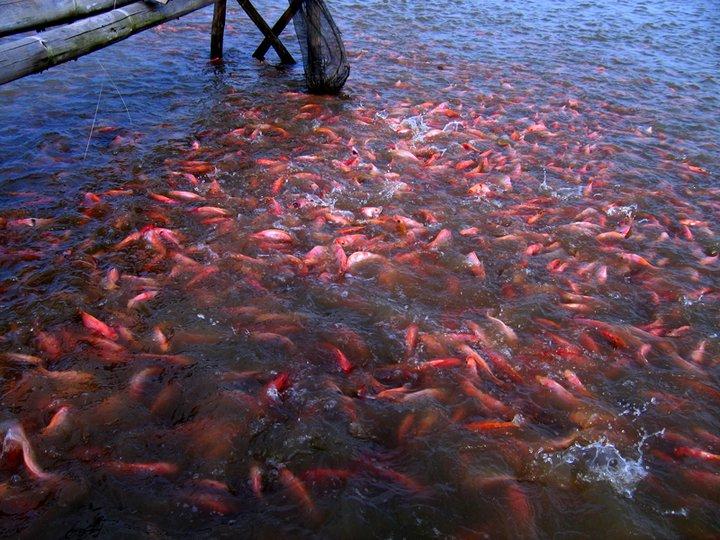 Proses Pembesaran Ikan Nila Hal Ketahiu Memelihara Pertumbuhan Sagat Tergantung