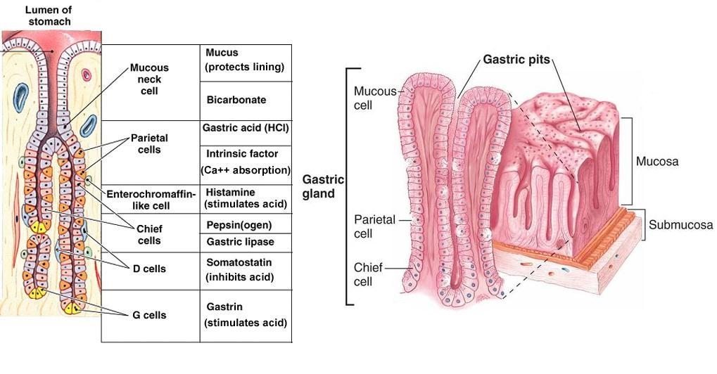 define gastric gland zoology box diagram of the lungs
