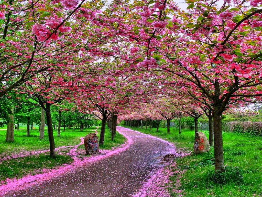Japan Garden Flowers: Japanese Cherry Blossom Garden Wallpaper
