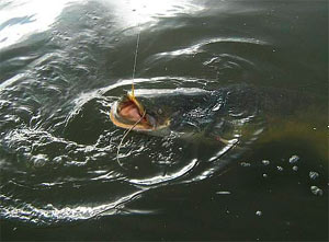 Особенности рыбалки на сома в разное время года