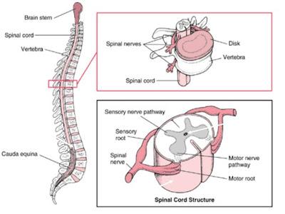 Struktur dan Fungsi Sumsum Tulang Belakang (Medula Spinalis)