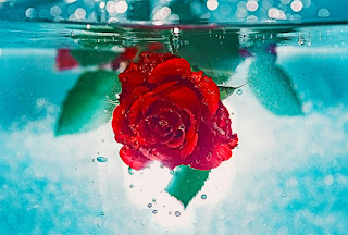 Red Rose hangs upside down beneath water
