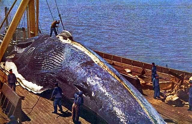 أكبر كائن حي في العالم الحوت الأزرق الموسوعة الثقافية