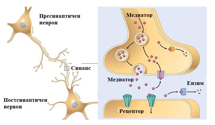 неврони и синапс