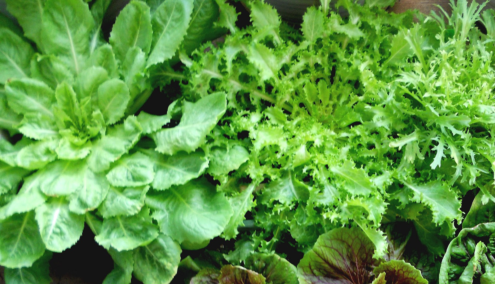 Endive Lettuce Images - Reverse Search
