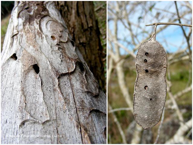 Rastros de insectos en la madera y en vainas de semillas - Chacra Educativa Santa Lucía
