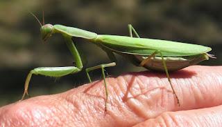 Mantis religiosa, European Mantis