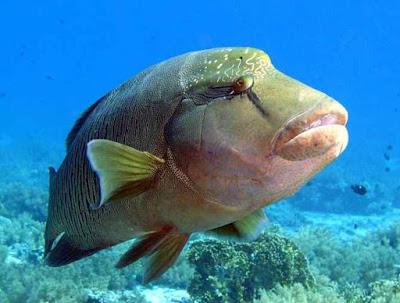 Video : Mengamati Prilaku dan Kegiatan Reproduksi Ikan Napoleon