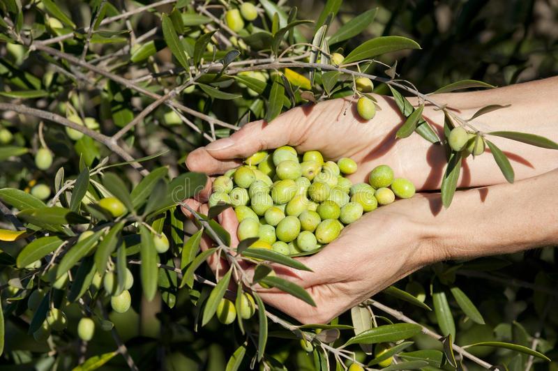 Η ανομβρία έριξε στο μισό την παραγωγή της πράσινης ελιάς στην Χαλκιδική