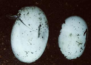 Cara Terbaik Menetaskan Telur Kura Kura Air Tawar Brazil