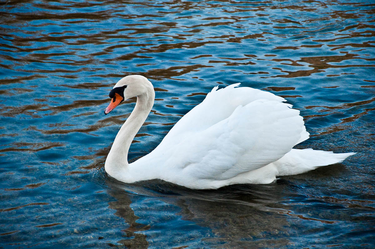 A beautiful swan on the river Mincio, Veneto, Italy