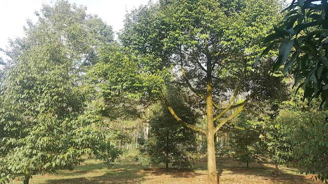 Trong vườn hiện có hơn 30 cây sầu riêng đang cho thu hoạch