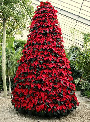 Foto Di Stelle Di Natale.Il Mondo In Un Giardino Come Far Durare La Stella Di Natale