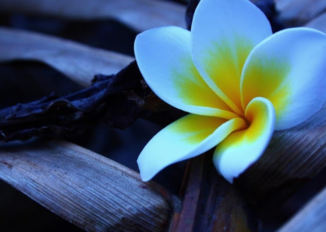 HD-Frangipani-flower-Wallpaper