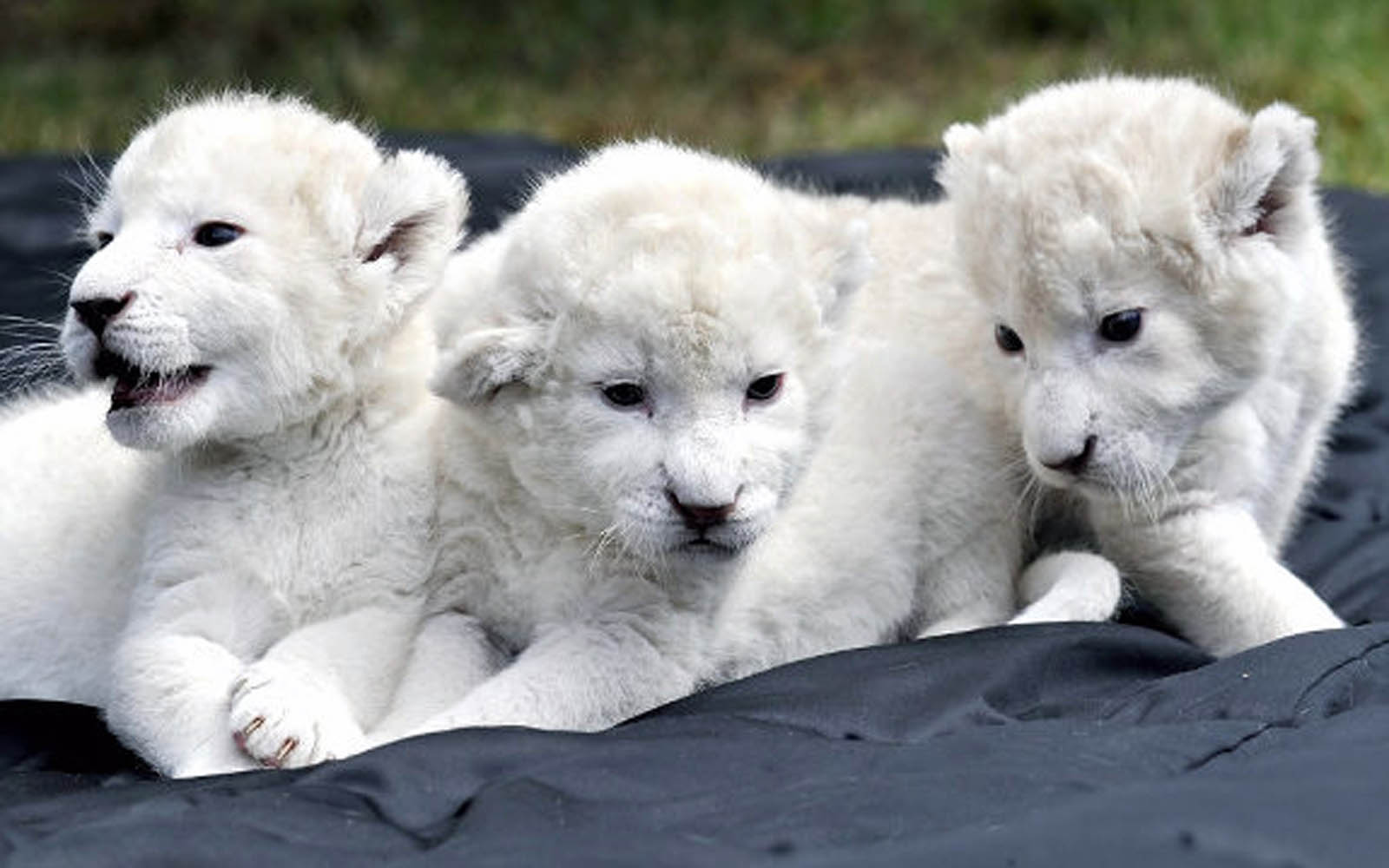 Baby White Lion Pictures - 2013 Wallpapers - photo#1