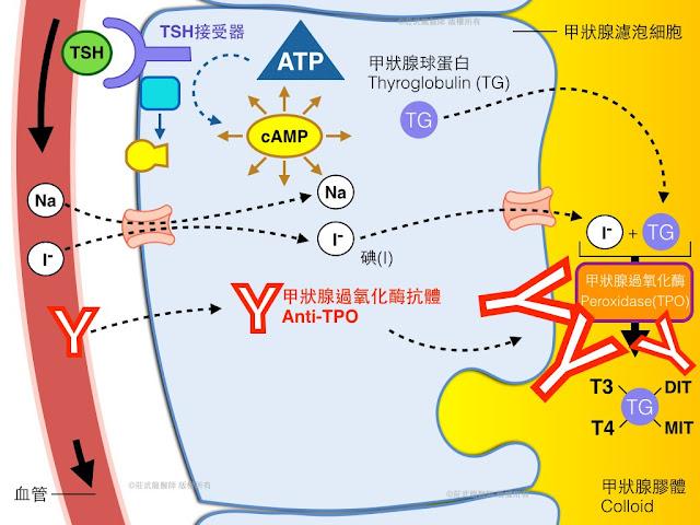 甲狀腺抗體Anti-TPO