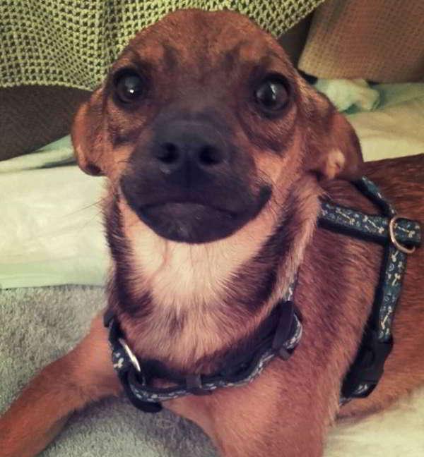cachorra tamaño miniatura