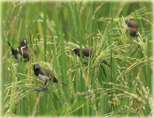Inilah Cara Membasmi Hama Burung Pada Tanaman Padi - Penyakit ...