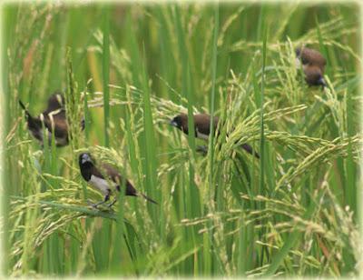 Cara Membasmi Hama Burung Pada Tanaman Padi