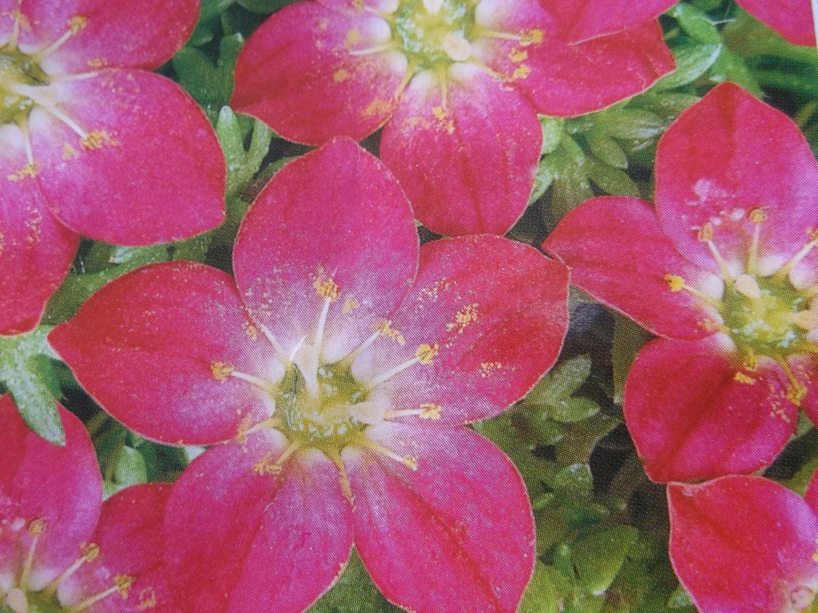 Фото и названия двухлетних садовых цветов
