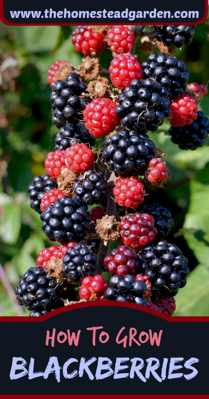 How to Grow Blackberry, Planting, Growing and Harvesting ...