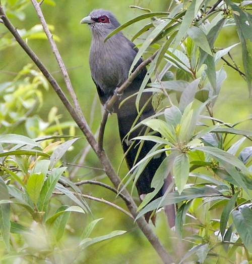 Birds of India - Photo of Green-billed malkoha - Phaenicophaeus tristis