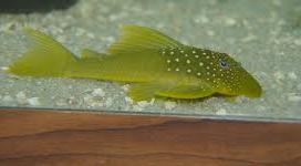 Ikan Sapu Sapu Green phantom pleco