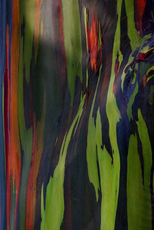 شجرة ذو الوان طبيعية مبهرة rainbow-eucalyptus-6