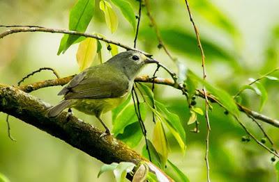 Kumpulan Jenis Burung Peor Yang Memiliki Suara Bervariasi Paling Lengkap