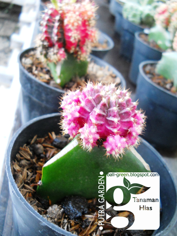Putra Garden Bali Jual Tanaman Hias Kaktus Mini Merah Dan