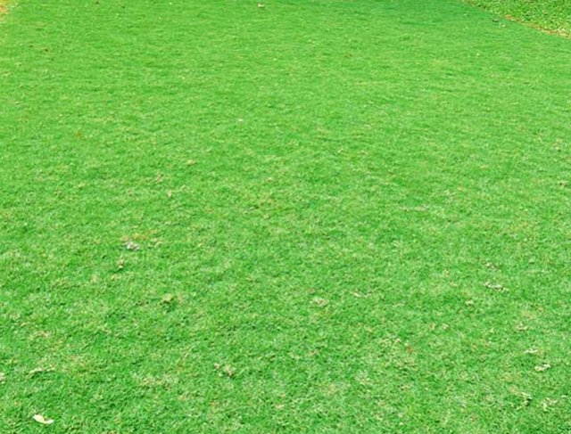 rumput taman golf