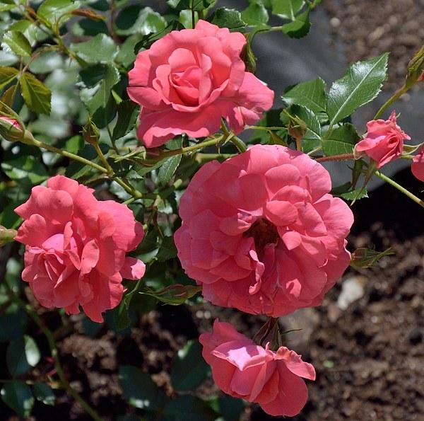 Bad Birnbach сорт розы фото саженцы Минск