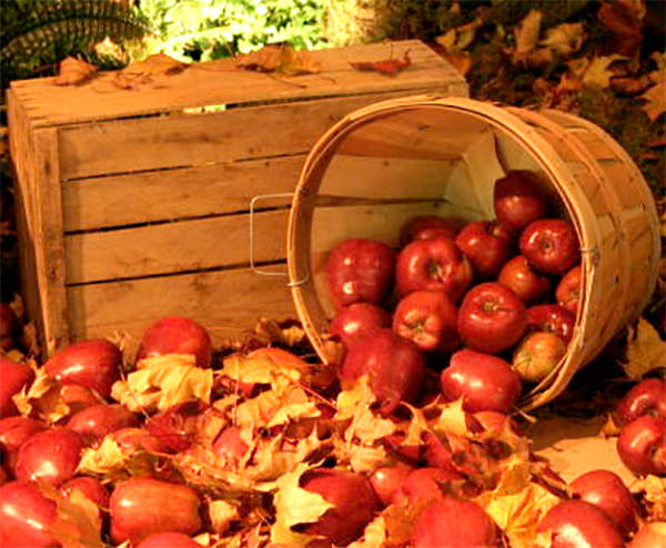 Fall apples falling out of a bushel