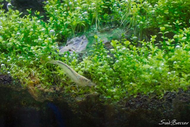藍藻 ヤマトヌマエビ