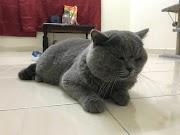 tentang kucing British Short Hair