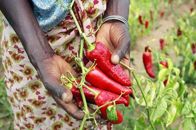 African hot peppers
