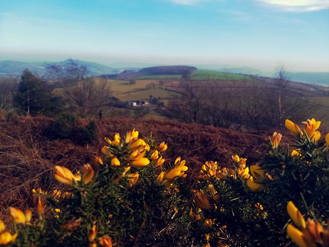 Yellow gorse Shropshire