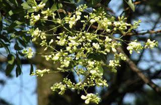 Cây hoa hòe là cây gì? có tác dụng gì? sống mọc ở đâu?