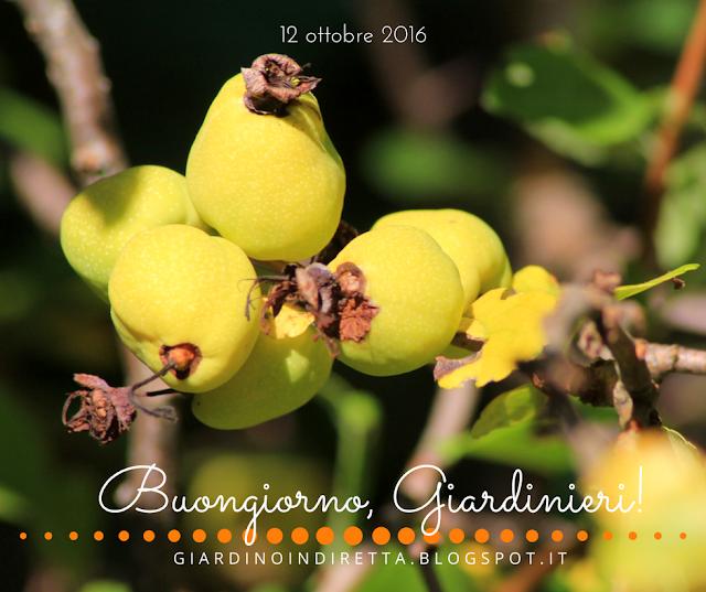 cotogno del Giappone (Chaenomeles japonica) - l'agenda del giardino e del giardiniere - un giardino in diretta