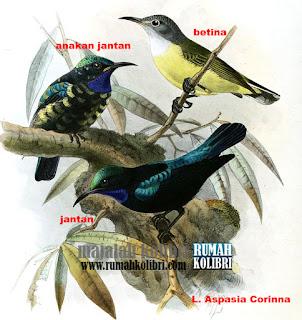 rumah kolibri