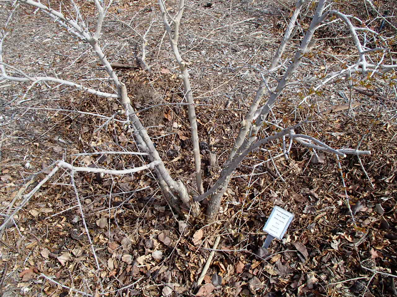 When Pruning Pomegranate Leave Four Or Five Main Stems At The Base And Remove All Other Er Growth Best Pomegranates Will Be Produced From This